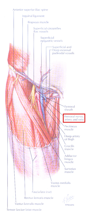 femoral catheter placement, Muscles